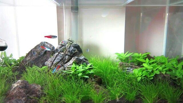 Iwagumi fluval edge 26L tank # hair grass # staurogyne ...