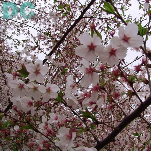 Google Image Result For Http Www Dcpages Com Gallery D 99687 2 041205blossoms Cherry Blossom Tree Blossom Beautiful Tree