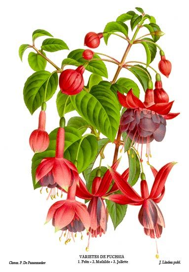 botanical illustration fuschia - Google Search