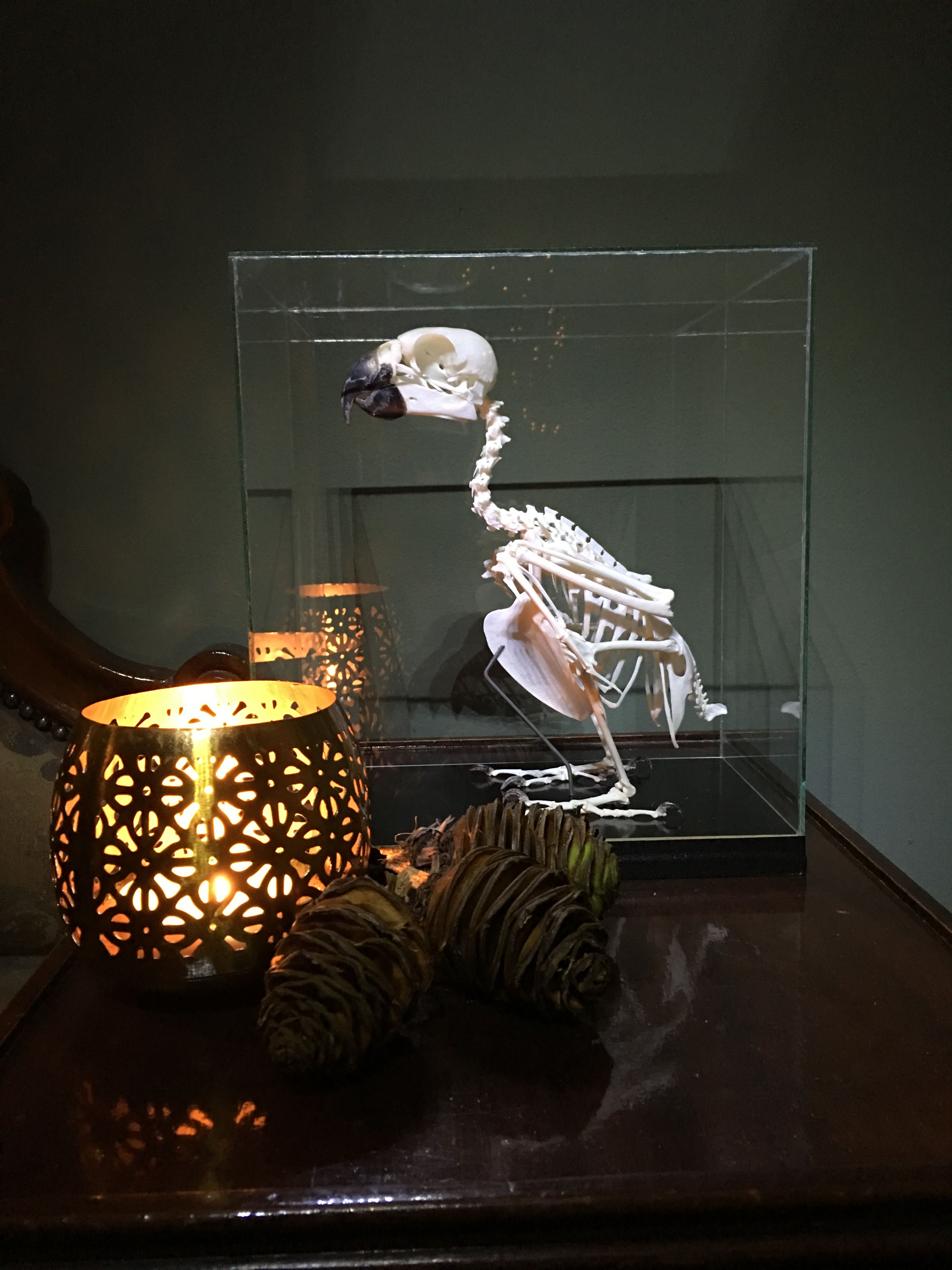 African grey skeleton
