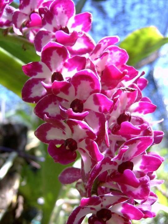 Orquidea ascocenda vandacea