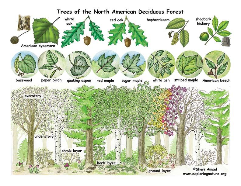 Deciduous Forests | Deciduous forest biome, Temperate deciduous forest,  Biomes project