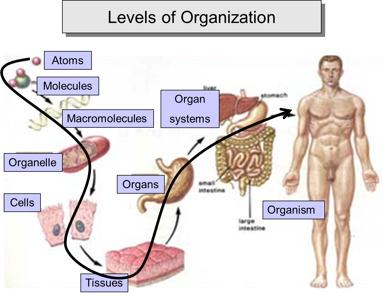 There Is A Hierarchy Of Complexity Of Humans And It Is As Follows Organism Single Individual Organ S Anatomy And Physiology 6th Grade Science Lab Activities