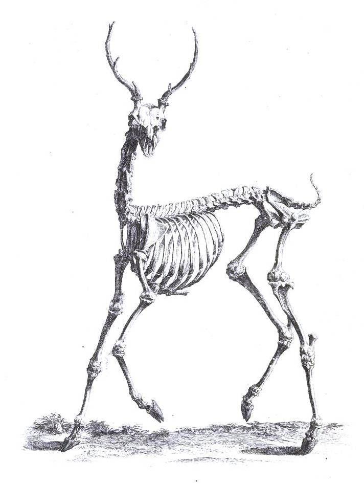 deer anatomy - Google Search | Ungulates | Pinterest | Anatomy