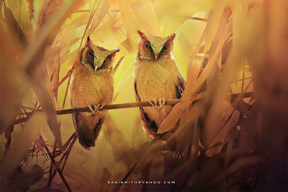 owl-photos-sasi 17