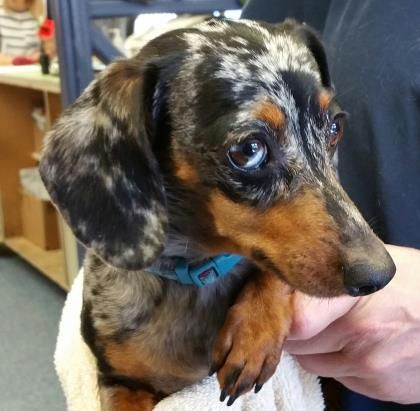 Meet 153246 A 4 Years Dachshund Miniature Smooth Haired Mix Available For Adoption In Bakersfield Ca Dachshund Dapple Dachshund Pet Finder