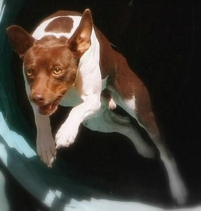 """Two-year-old Flash """"has the best personality,"""" says his dog mom, Kathy. """"He's super-easy to live with but ready at the drop of a hat to work. Flash loves to swim and run agility. I want to believe that out of all of those things, he loves me best."""""""