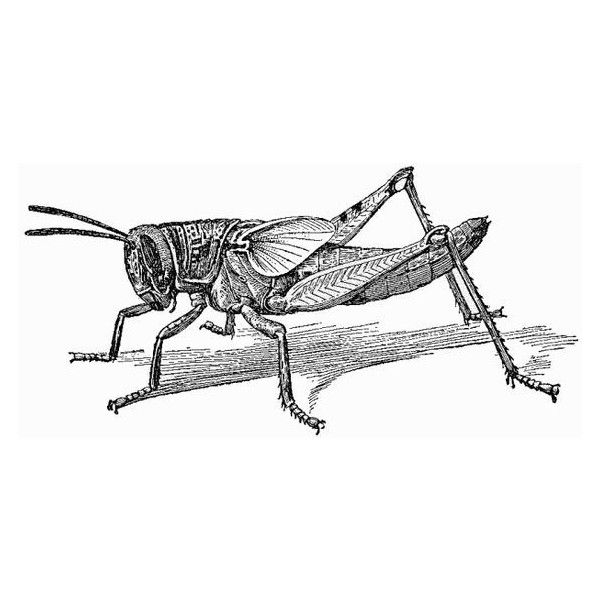 Free Black And White Grasshopper, Download Free Clip Art, Free Clip Art on  Clipart Library