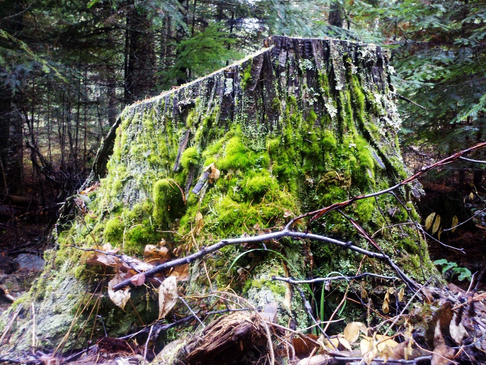 Mossy stump I can see from my driveway.
