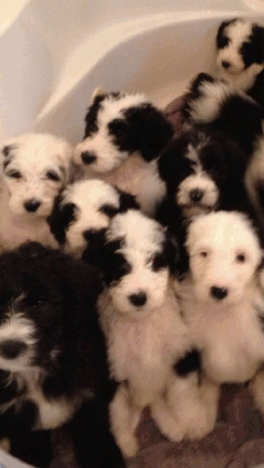 Sheepadoodle Puppies The Non Shedding Non Drooling Hybrid