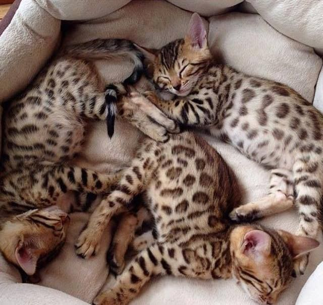 I Want All Of Them Katzen Susseste Haustiere Bengal Katzchen
