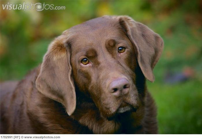Love This Dog Beautiful Chocolate Lab Chocolate Labrador Retriever Dog Breeds Labrador Retriever