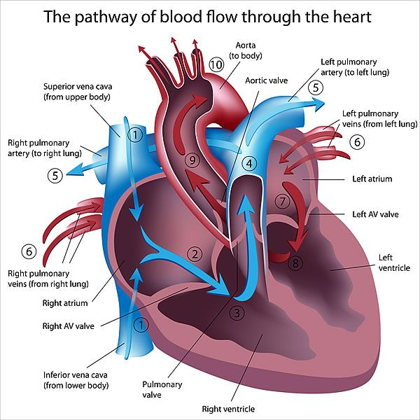 How Does Your Heart Work - Anatomy of the Heart, Coronary Arteries ...