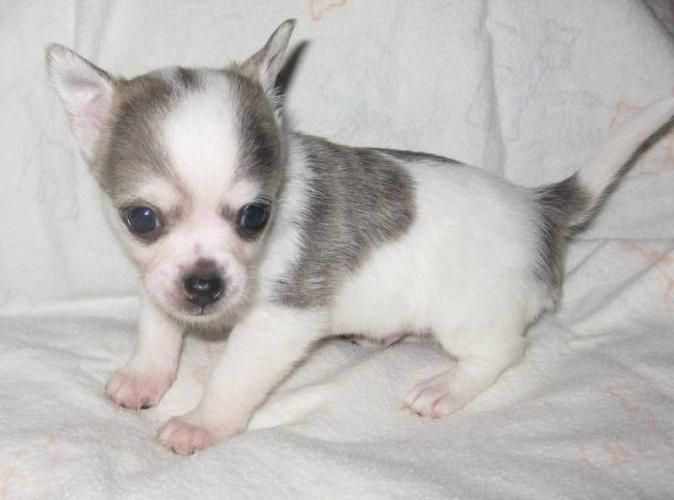 Silver And White Chihuahua Kittens And Puppies Pedigree Dog