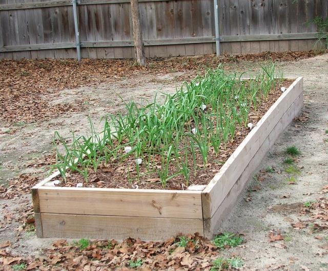 Growing Garlic In Florida
