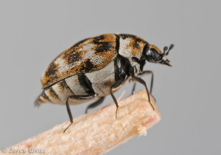 What Are Carpet Beetles Carpet Beetle Small Beetles