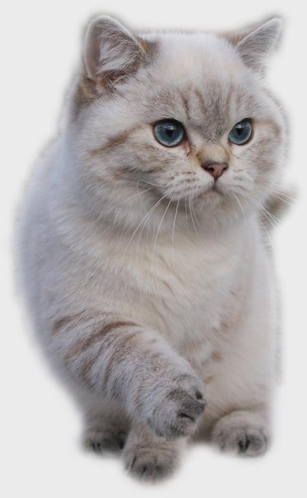 Http Www Sweetfun De Femalelalic Html Cattery Sweetfun Bkh Colorpoint Tabby Katzen Schonen Katzen Schone Katze