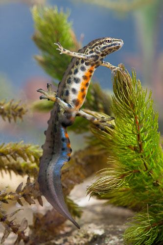 Lovely Smooth Newt T Vulgaris Male Amphibians Newt Animal