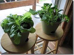 Growing Lettuce Indoors Growing Lettuce Organic Gardening Tips