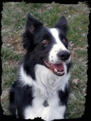 Finn Is An Adoptable Border Collie Dog In Kansas City Mo If