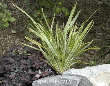 32 New Zealand Flax Phormium Tenax And Some Species And Hybrids This One Is Tiny Tiger Full Sun Waterwise On New Zealand Flax Plants California Plants