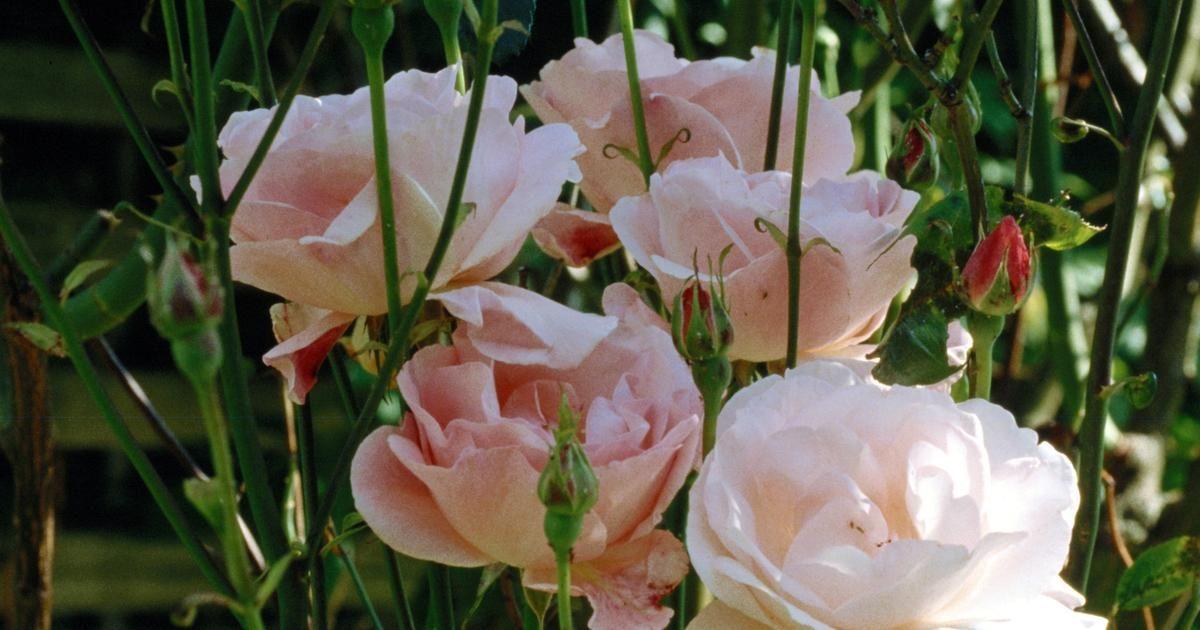Cómo enraizar una rama de un rosal y crear uno nuevo