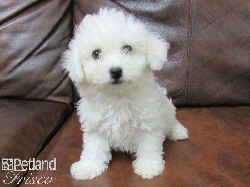 Bichon Frise Female White 2381470 Petland Frisco Tx Bichon