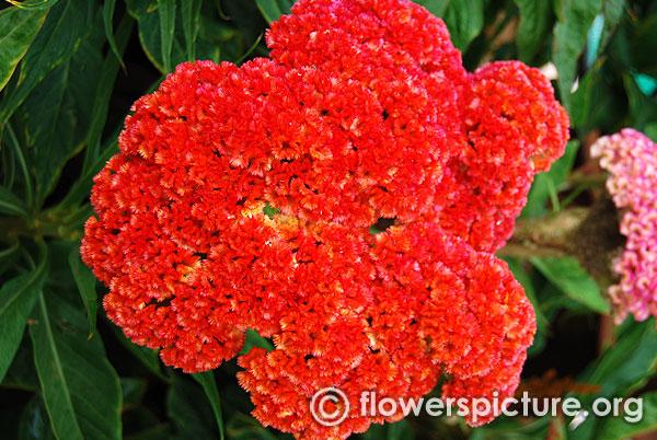Common Name Cockscomb Orange Botanical Name Celosia Cristata Family Amaranthaceae Order Caryophyllales Origin N Herbaceous Perennials Flowers Flower Pots