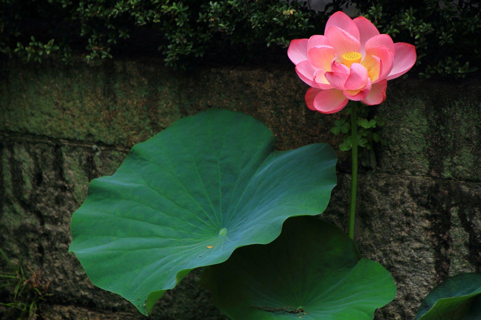石垣沿いの立派なハスの葉と花 ハスの花 蓮の花 夏