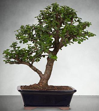 Dwarf Jade Bonsai Best Shown Jade Bonsai Bonsai Styles Bonsai Tree