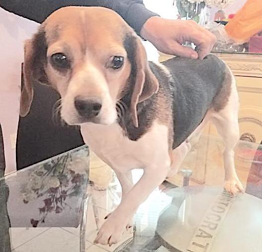 Adopt Lady On Adoptable Beagle Beagle Dog Pets