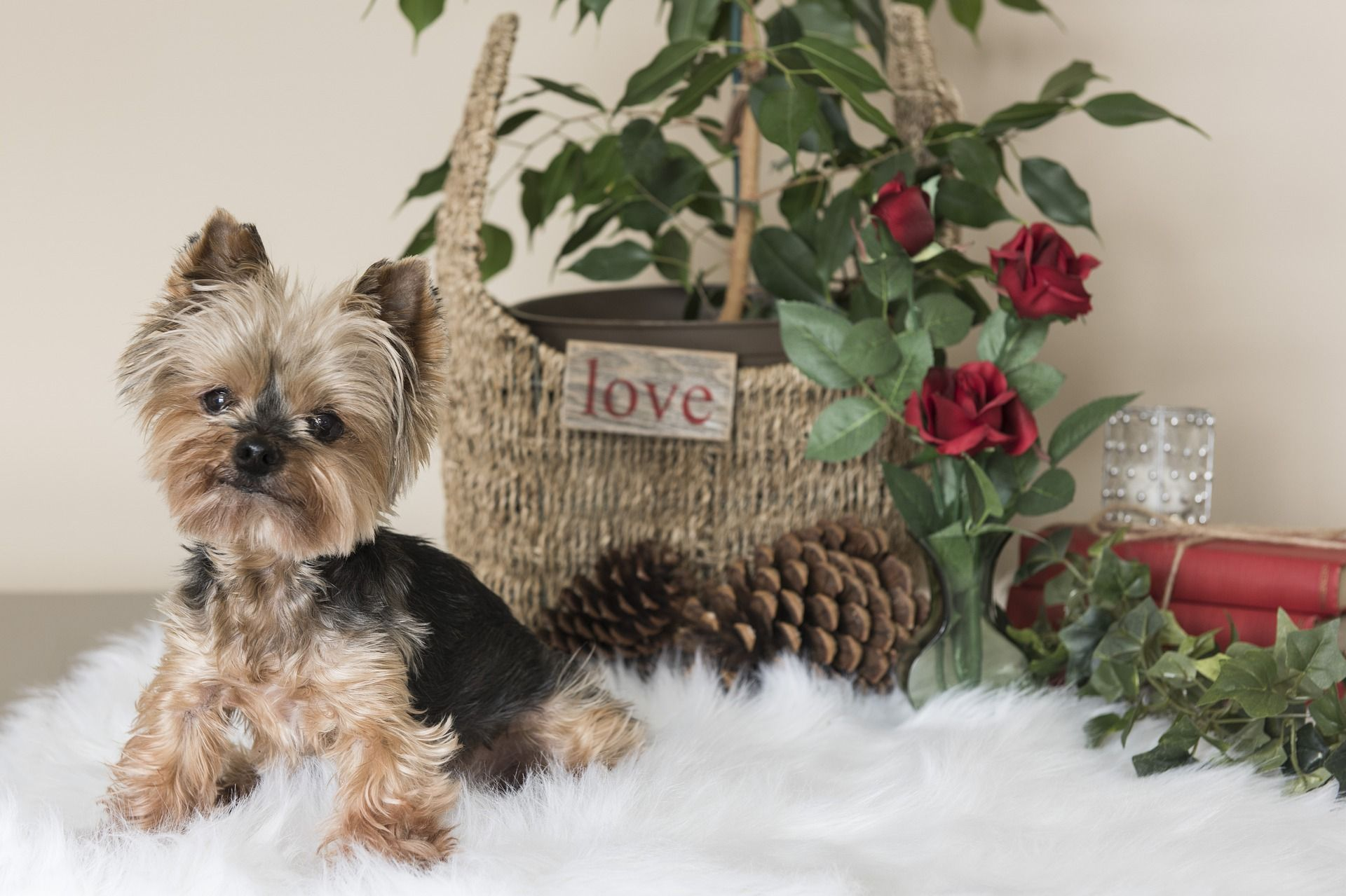 Valentines Day Gifts For Dogs Teacup Puppies Yorkie Puppy For Sale Yorkie Puppy