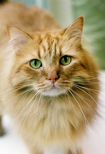 Beautiful ginger cat with green eyes. Cats