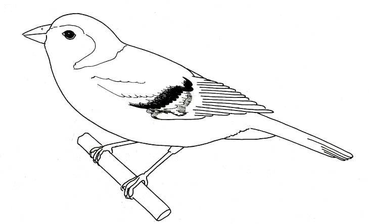 Bird Sketches | birds are vertebrates they have a ...