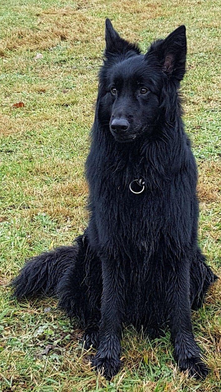 Neo Langhaar Schaferhund Black Dog Dog Breeds Belgian Shepherd