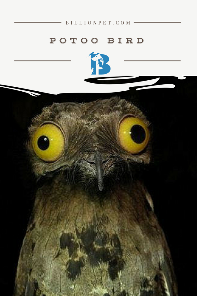 The great Potoo bird   Facts and Buyer s Guide   Pinterest   Potoo     Certainly one of the oddest birds you re ever going to come across  which  is a big part of why it s become one of the real favorite birds to own as a  pet