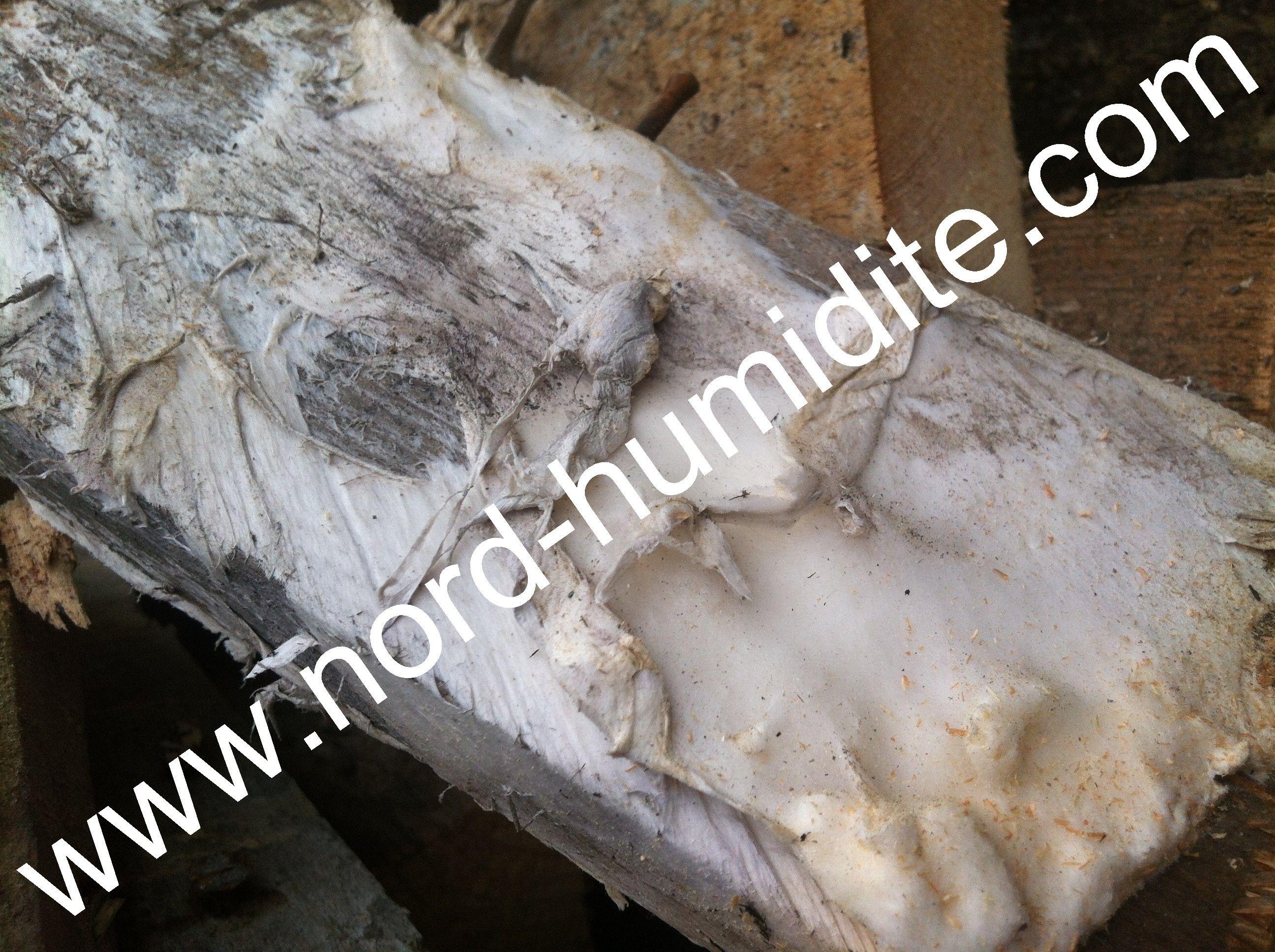 PHT Humidité - Mérule « Serpula lacrymans » ou autres