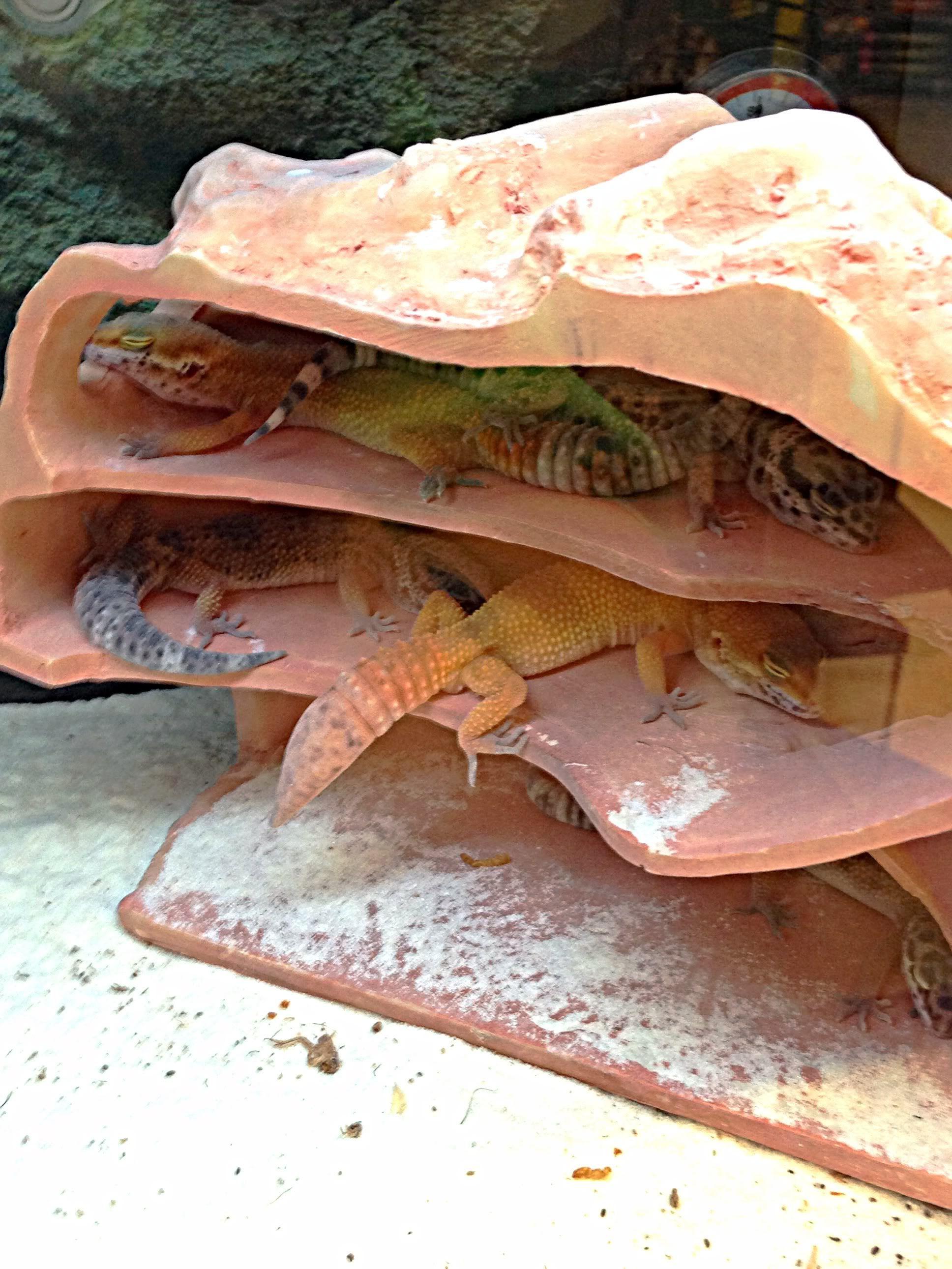 Sleeping Geckos Leopard Gecko Baby Animals Real Leopard Gecko Terrarium