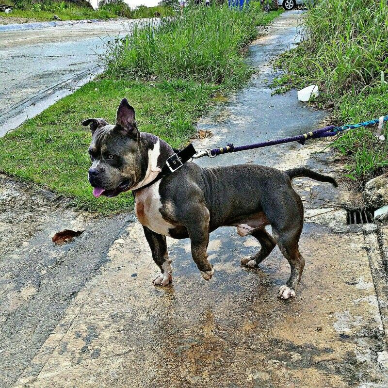 Ghost Tricolor American Bully Dogs Boston Terrier