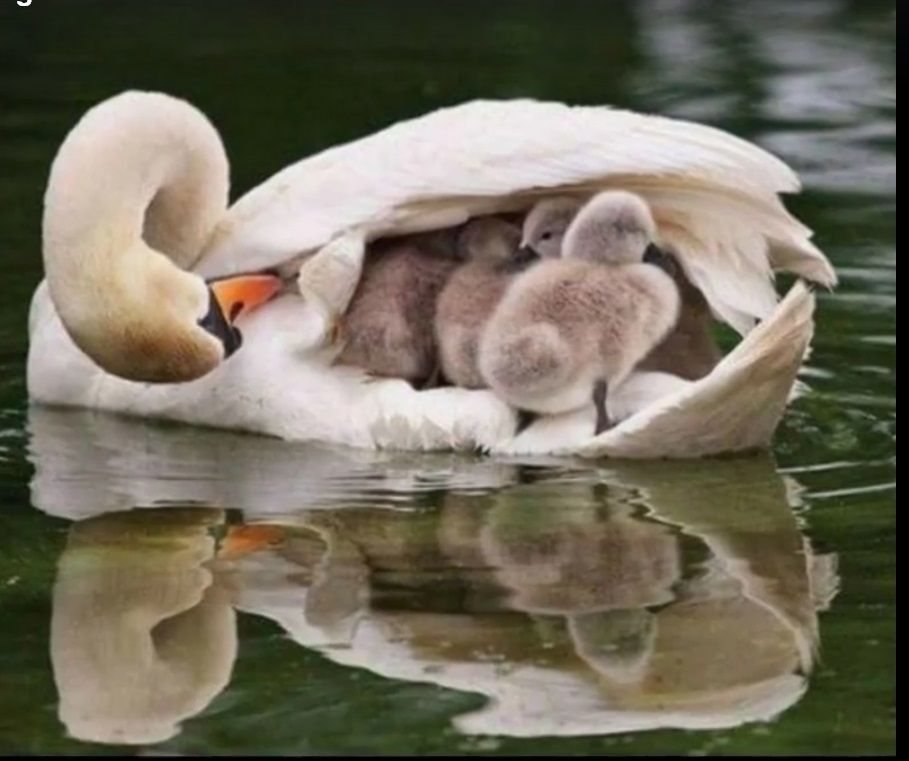 Mama Swan with ducklings. | Mother and baby animals, Cute animals ...
