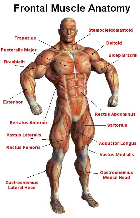 muscular-system-diagram-339.jpg (448×695) | OUR INCREDIBLE BODY ...