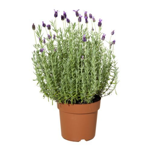 IKEA - LAVANDULA, Ruukkukasvi, Viherkasvit ovat mainio sisustuselementti. Laajassa valikoimassamme on ruukkuja kaikentyylisiin koteihin ja kaikenlaisiin tarpeisiin.