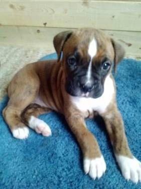 Family Raised Adorable Full Blooded Boxer Puppies Boxer
