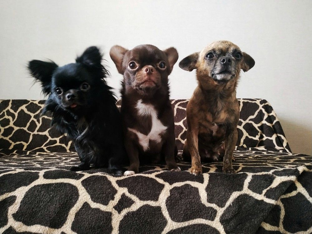Pin By Lil Trouble 38 On Lexi S Pets Chihuahua Love Cute