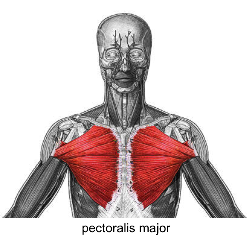 Pectoralis Major Muscle | pectoralis major | Muscle Pictures for ...