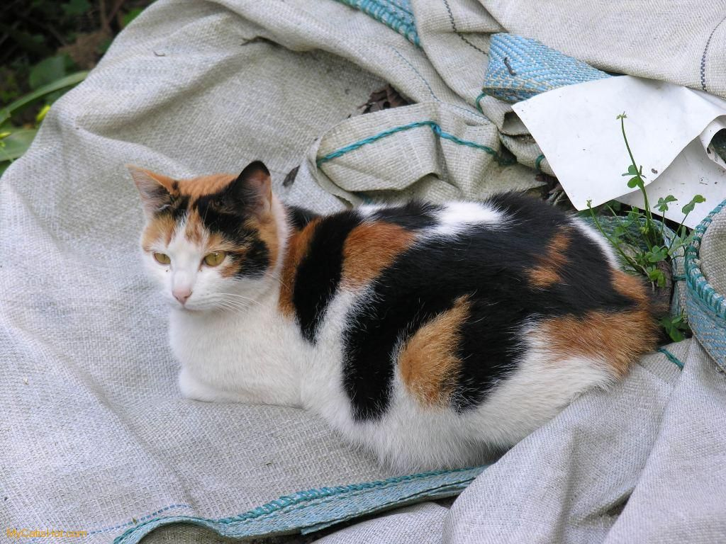 Calico Cat Facts Dog Cat And Other Pet Friendly Travel Articles Cat Facts Calico Cat Facts Tabby Cat