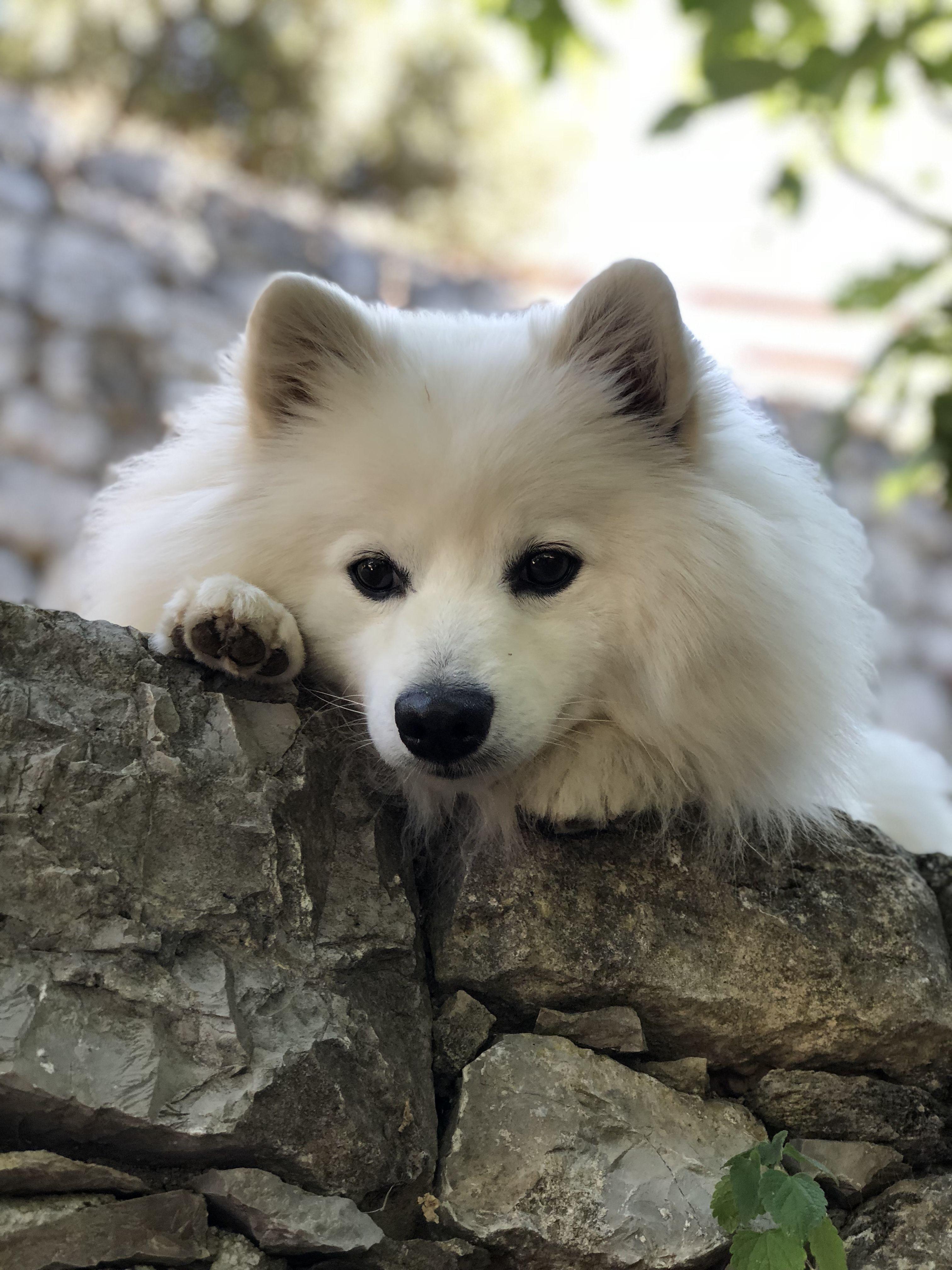Spitz Auf Der Mauer Hunde