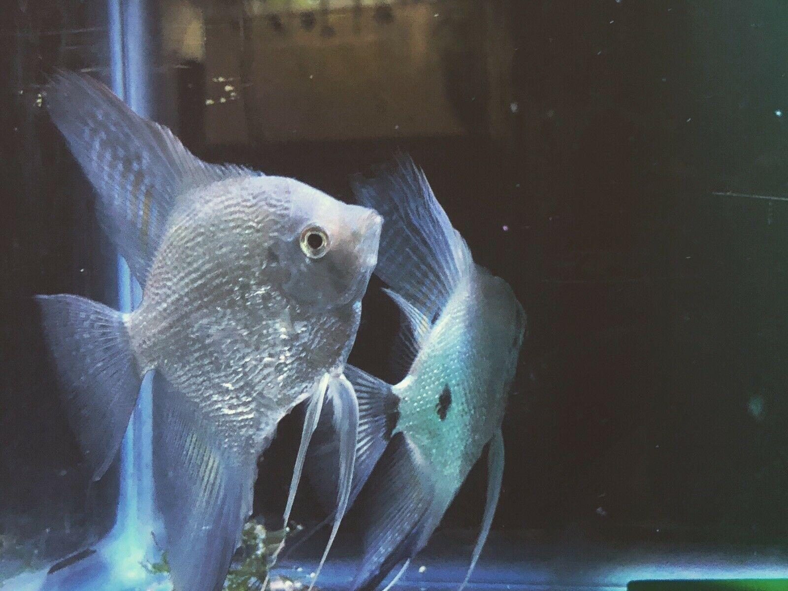Beautiful proven pair live angelfish 1999 standard