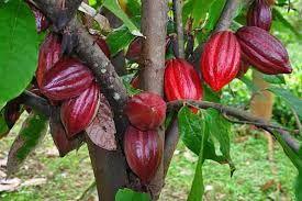 i rari frutti della pianta del cacao dai suoi semi si  produce il cacao ingrediente principale del cioccolato www.lepiantearomatiche.it