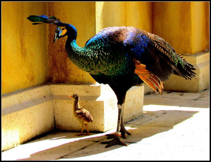 Java Peahen and Peachick